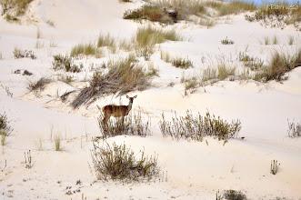 Photo: Parece nieve pero no lo es. La arena de Doñana saluda a esta hembra. La sensación es especial.