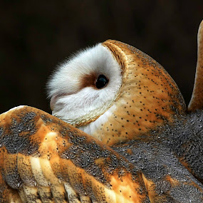 Barn Owl by Bruce Arnold - Animals Birds (  )
