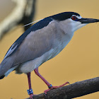 Heron - Black-crowned Night Heron