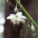 Pale Vanilla-lily