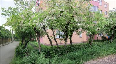 Photo: Salcâm (Robinia pseudoacacia) - din Turda, de pe Calea Victoriei, B16 - 2018.05.09