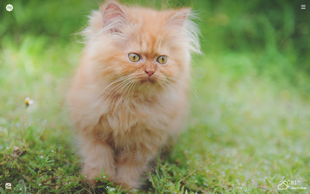 My Persian Cat HD Wallpapers New Tab Theme