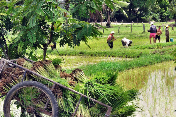 See the rice fields on Koh Klang