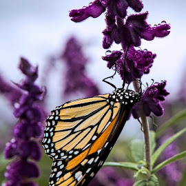 Butterfly by Chris Seaton - Animals Insects & Spiders ( nature, butterfly, insect, garden, monarch )