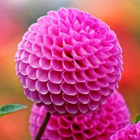 Dahlia A4 by Raphael RaCcoon - Flowers Single Flower