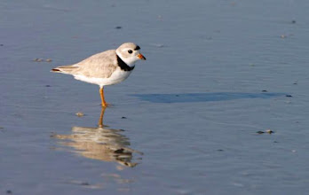 Photo: Piping Plover - Bird Shoal if one of 5 island that comprise the Rachel Carson Reserve; it is federally designate as a critical habitat for overwintering of Piping Plovers. Photo by Randy Newman, Ft. Macon State Park.