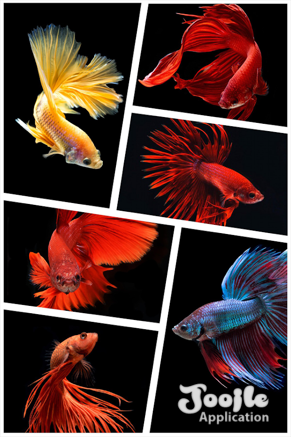 Betta fish hd android apps on google play for Siamese fighting fish crossword