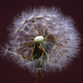 Make a wish by Simon  Rees - Flowers Single Flower