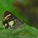 Day-flying Geometrid Moth