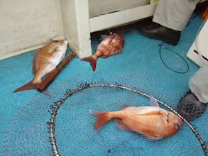 Photo: うわーっ!いきなり真鯛のトリプルキャッチ!