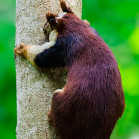    giant squirrel    by Indra Maji - Animals Other Mammals