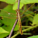 Yellow-sided Skimmer
