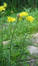 Photo: Smooth Hawksbeard, 6.28