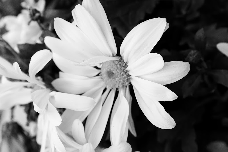 Fior di bianco di ChiarArts