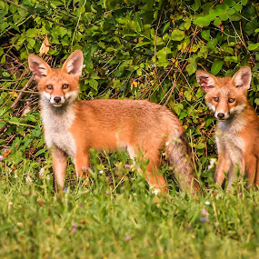 Foxes by Andrej Kozelj - Animals Other Mammals ( wild, animals, fox, grass, green, beautiful, wildlife, foxes, animal )
