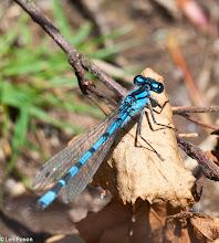 Photo: Common Blue Damselfies (m) Bluewaters, Healey Nab 22.07.12