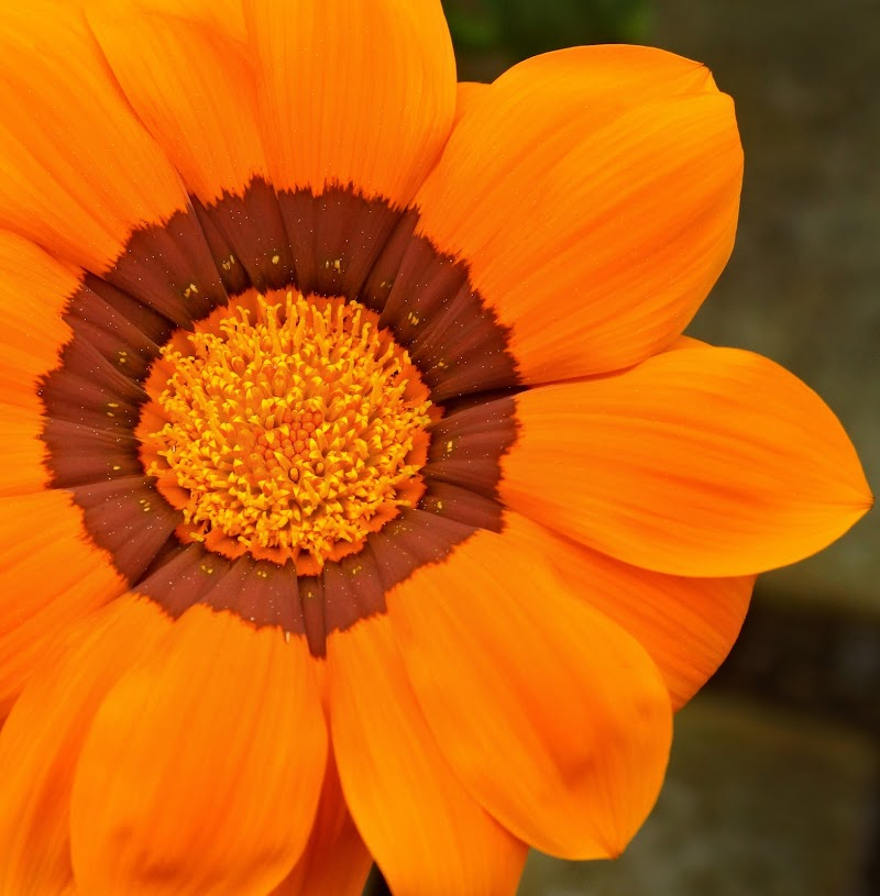 gerbera arancio di ruggeri alessandro
