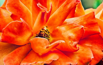 """Photo: """"We must risk delight. We must have the stubbornness to accept our gladness in the ruthless furnace of this world.""""~ Jack Gilbert       #gardeningwednesday #vibrantwednesday #vividwednesday #whateverwednesday #10000photographersaroundtheworld #allthingsorange #colormeweekly #macro4all #summerphotos  #flowercolors - +//flower colors//by +angelic labru #flowerpower +FLOWER POWERby +Edith Kukla #hqspflowers +HQSP Flowers curated by +Francine Vanlé +Iva Pas +kaatje jansen +Wayne Lu #PhotoManiaUK +Photo Mania UK curated by +Hans-Juergen Werner and +Chandro Ji"""
