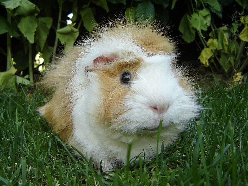 guinea_pig1.jpg