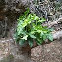 Italian arum