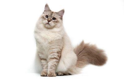 Borstar kammar katt