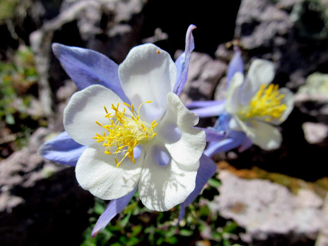 Trailside columbine
