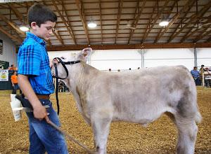 Photo: Showing a feeder calf