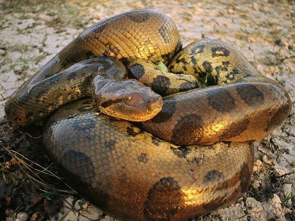 Image result for green anaconda scary