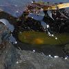 Tidepool Snailfish