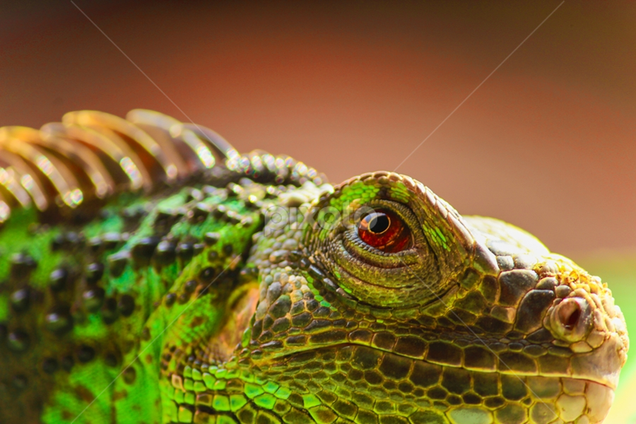 What do You thingking about ? by Mukhitur Rusda - Animals Reptiles ( indonesia, east java )