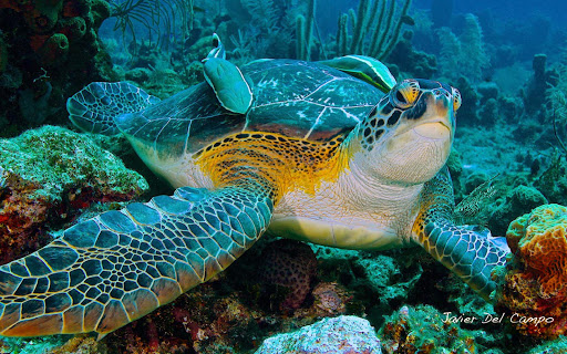 Close-up of a sea turtle swimming in the tropical waters of Bonaire.