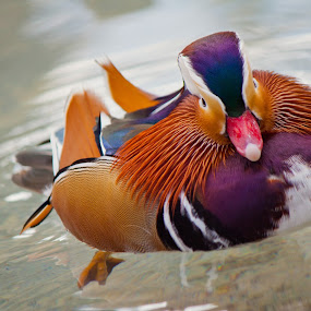 Mandarin Duck 2 by Jeff McVoy - Animals Birds ( water, water fowl, fowl, mandarin duck, colorful, mandarin, duck,  )