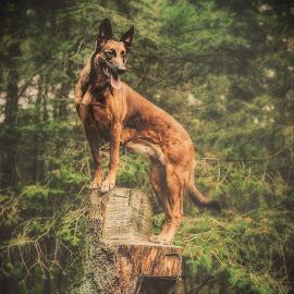 Grand lady by Wilma Heuvel - Animals - Dogs Portraits ( maashorst, dogs, honden, mallinois, dog, mechelse herder, hunde, animal )