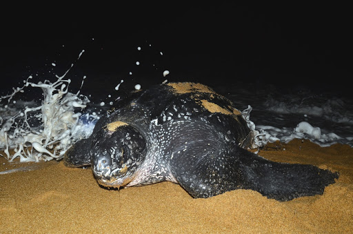 "According to IUCN, globally, the leatherback status is now ""Vulnerable"". However, the Southwest Atlantic subpopulation is listed as ""Critically Endangered"". In Brazil, this species has been included in the Official Red List of Threatened Species, published by the Brazilian Environmental Ministry."