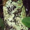 unknown foliose lichen?