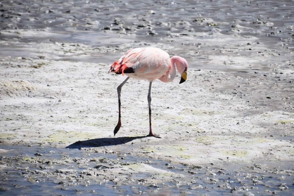 flamingo in uyuni salt flat bolivia tours.jpg