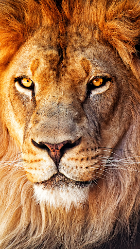 Lion Wallpapers ss1