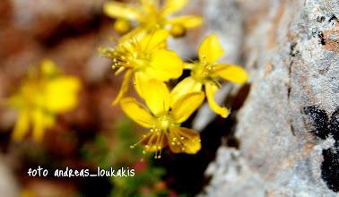 Photo: Κοινή ονομασία: Αγούγδιουρας, αγούδαρος, αγούιδουρας.   Περιγραφή: Θάμνος φυλλοβόλος μέχρι 4,5 μέτρα ύψος, με μεγάλα ωραία κίτρινα άνθη, με φύλλα λογχοειδή επιμηκή. Το ξύλο έχει λευκοκίτρινο χρώμα. Δεν υπάρχει σε κανένα άλλο μέρος της Ελλάδας, παρά μόνον στη Λέσβο και συγκεκριμένα μεταξύ των οικισμών Παρακοίλων - Ανεμώτιας - Πτερούντας - Χιδήρων - Βατούσας.   Βιότοπος: Τα πετρώματα, από τα οποία προέρχεται το έδαφος στα οποία εμφανίζεται το Ροδόδενδρον, ανήκουν στα νεώτερα ηφαιστειογενή. Το φυτό, σχεδόν κατά κανόνα, στα χαμηλότερα μέρη της εξάπλωσής του φύεται σε υγρά και γόνιμα αμμοαργιλώδη εδάφη. Ανθίζει από 15 - 20 Μαρτίου περίπου μέχρι τα τέλη Μαίου.