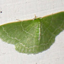 Wavy-lined emerald moth (aka camouflaged looper)