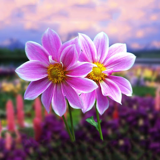 Download Cute Flowers Live Wallpaper For PC