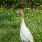 Cattle Egret (with breeding plumage)