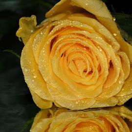 yellow flower rose by LADOCKi Elvira - Flowers Single Flower ( nature, plants, garden, rose, flower )