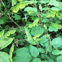 Pointed-leaf Tick-trefoil