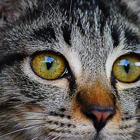 by Mohd Norsabree Sailan - Animals - Cats Portraits