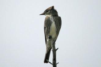 Photo: Olive-sided Flycatcher