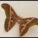 ailanthus silkmoth