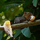 Northern Palawan tree squirrel