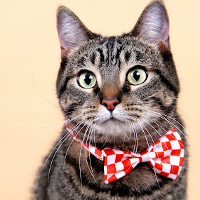 The Cats Meow by Ranee Rose - Animals - Cats Portraits ( cats, animals, cat, brown tabby, pets, whiskers, paws, cute, tabby )