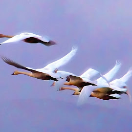Swans into fog by Gaylord Mink - Digital Art Places ( flying, animals, birds, swans, fog )