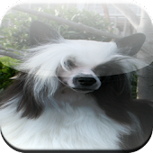 Chinese Crested Game